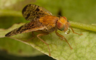 Xyphosia miliaria · margasparnė