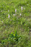 Plantago media · plaukuotasis gyslotis