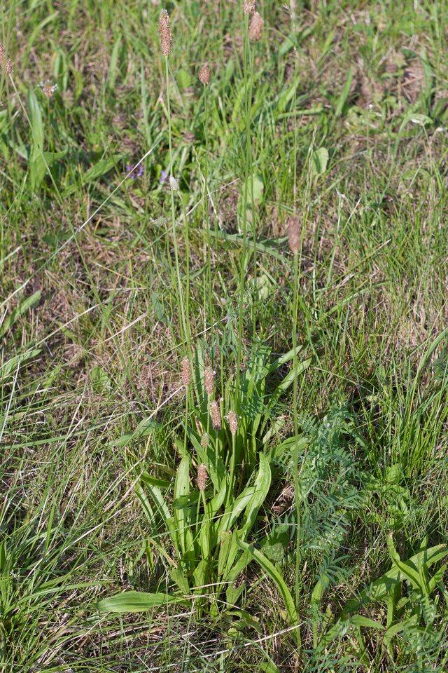Plantago-lanceolata-5319.jpg