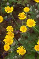 Cota tinctoria · geltonasis bobramunis