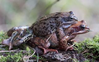 Rana temporaria mating · pievinė varlė poruojasi