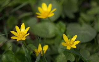 Ranunculus ficaria · pavasarinis švitriešis