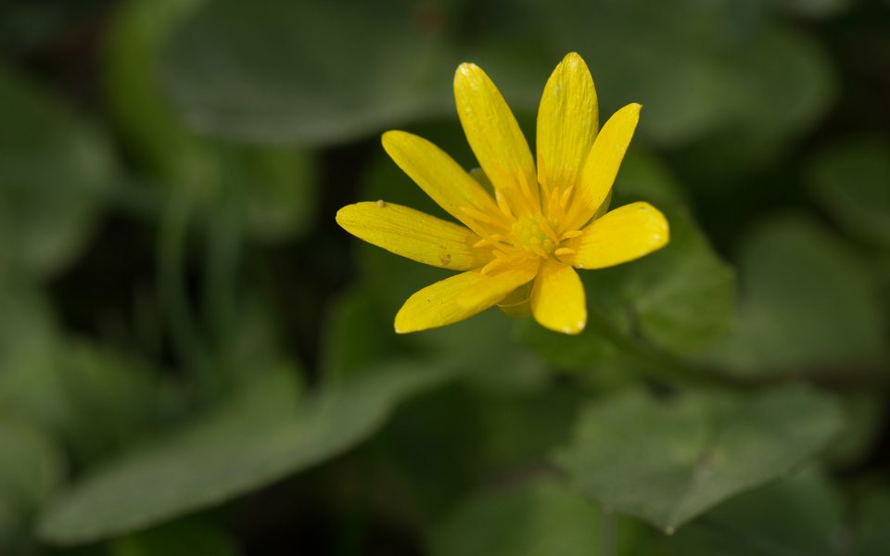 Ranunculus-ficaria-0290.jpg
