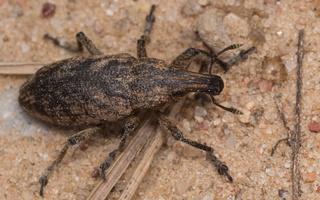 Cleonis pigra · dagilinis straubliukas