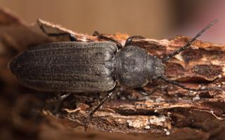 Asemum striatum · juodasis kelmalindis