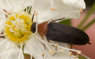 Mordellochroa abdominalis · gelsvapilvis dygliavabalis