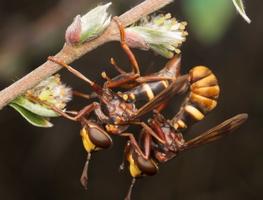 Conops vesicularis · lenktapilvė musė