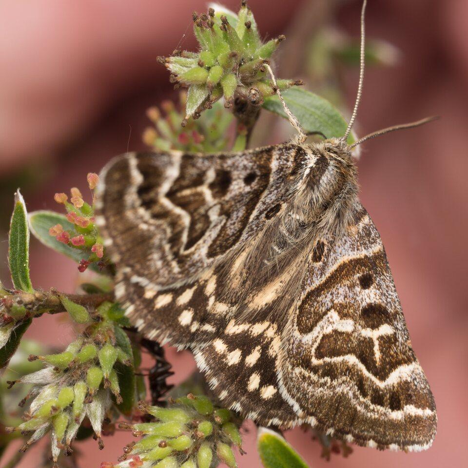 Lepidoptera-0431.jpg