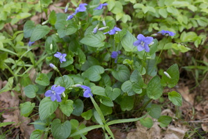 Viola reichenbachiana · miškinė našlaitė