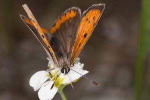 Lycaena phlaeas · mažasis auksinukas