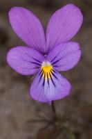 Viola littoralis · pajūrinė našlaitė