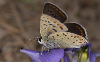 Lycaena tityrus male · tamsusis auksinukas ♂