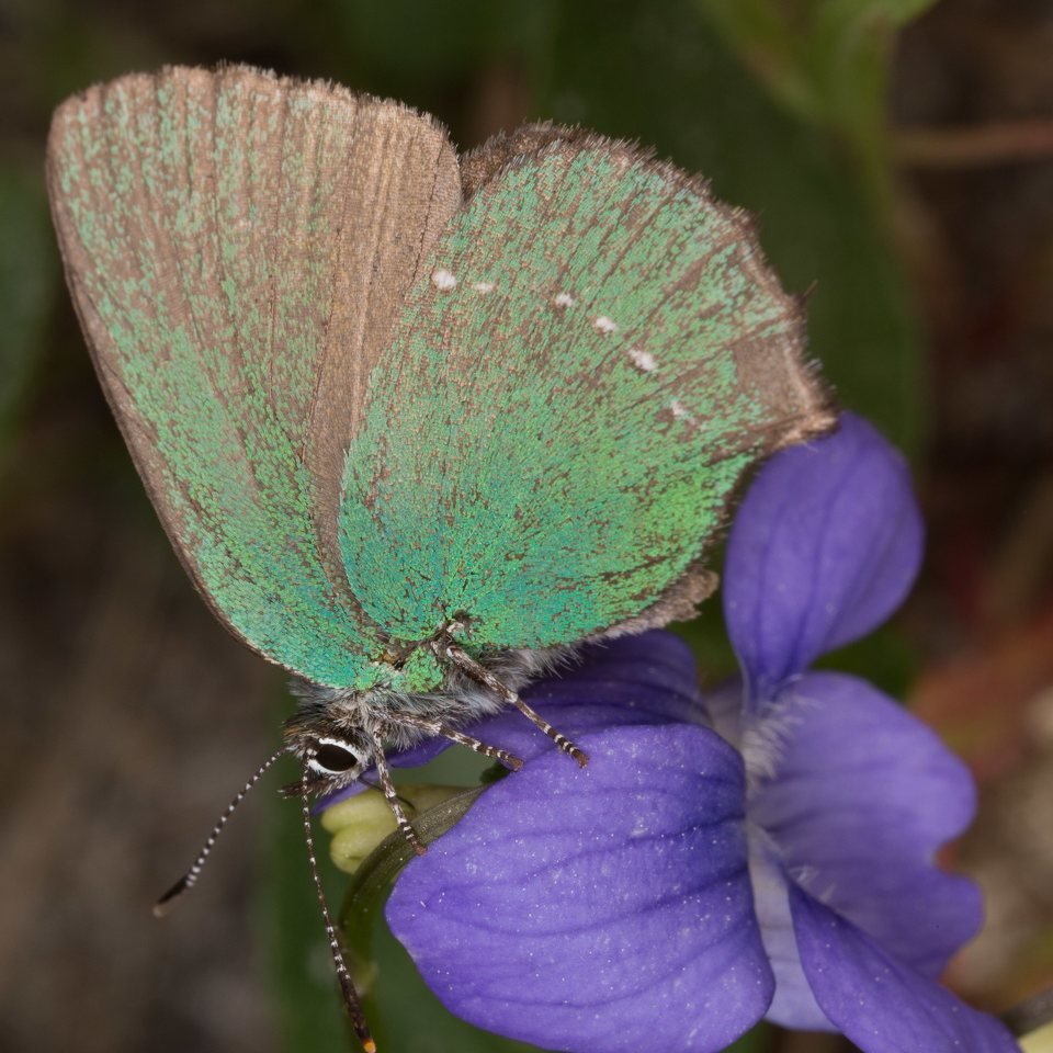 Callophrys-rubi-0520.jpg