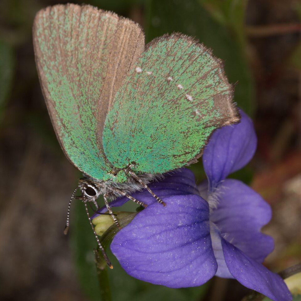 Callophrys-rubi-0521.jpg