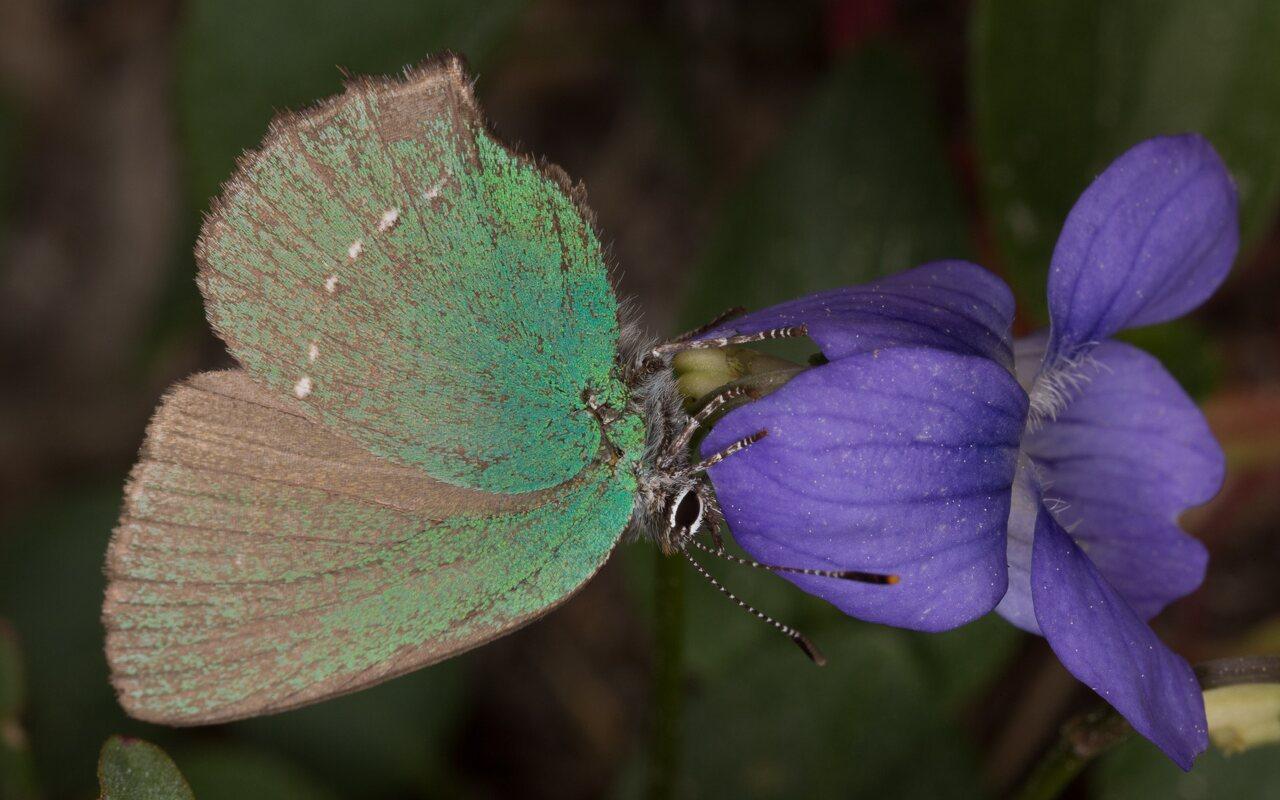 Callophrys-rubi-0522.jpg
