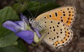 Lycaena tityrus female · tamsusis auksinukas ♀