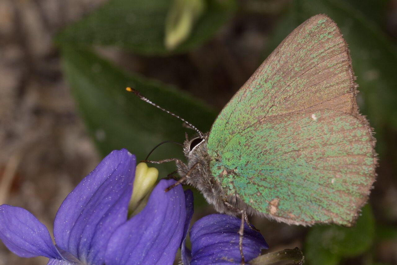 Callophrys-rubi-0531.jpg