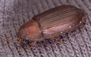 Ostoma ferruginea · pūzrinis skydvabalis