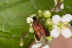 Cauchas rufimitrella · juodagalvė ilgaūsė makštinė kandis