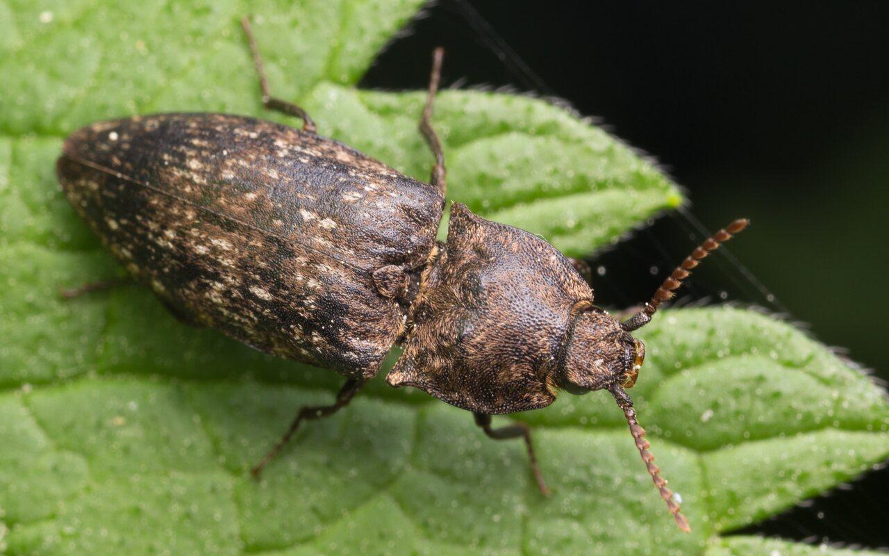 Agrypnus-murinus-0549.jpg
