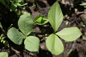 Menyanthes trifoliata · trilapis puplaiškis