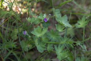 Geranium pusillum · smulkusis snaputis