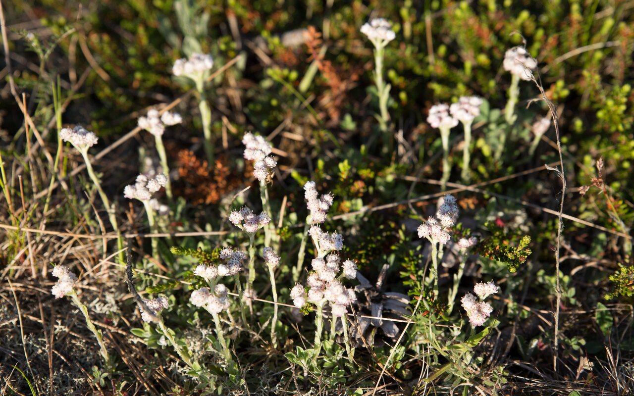 Asteraceae-0581.jpg