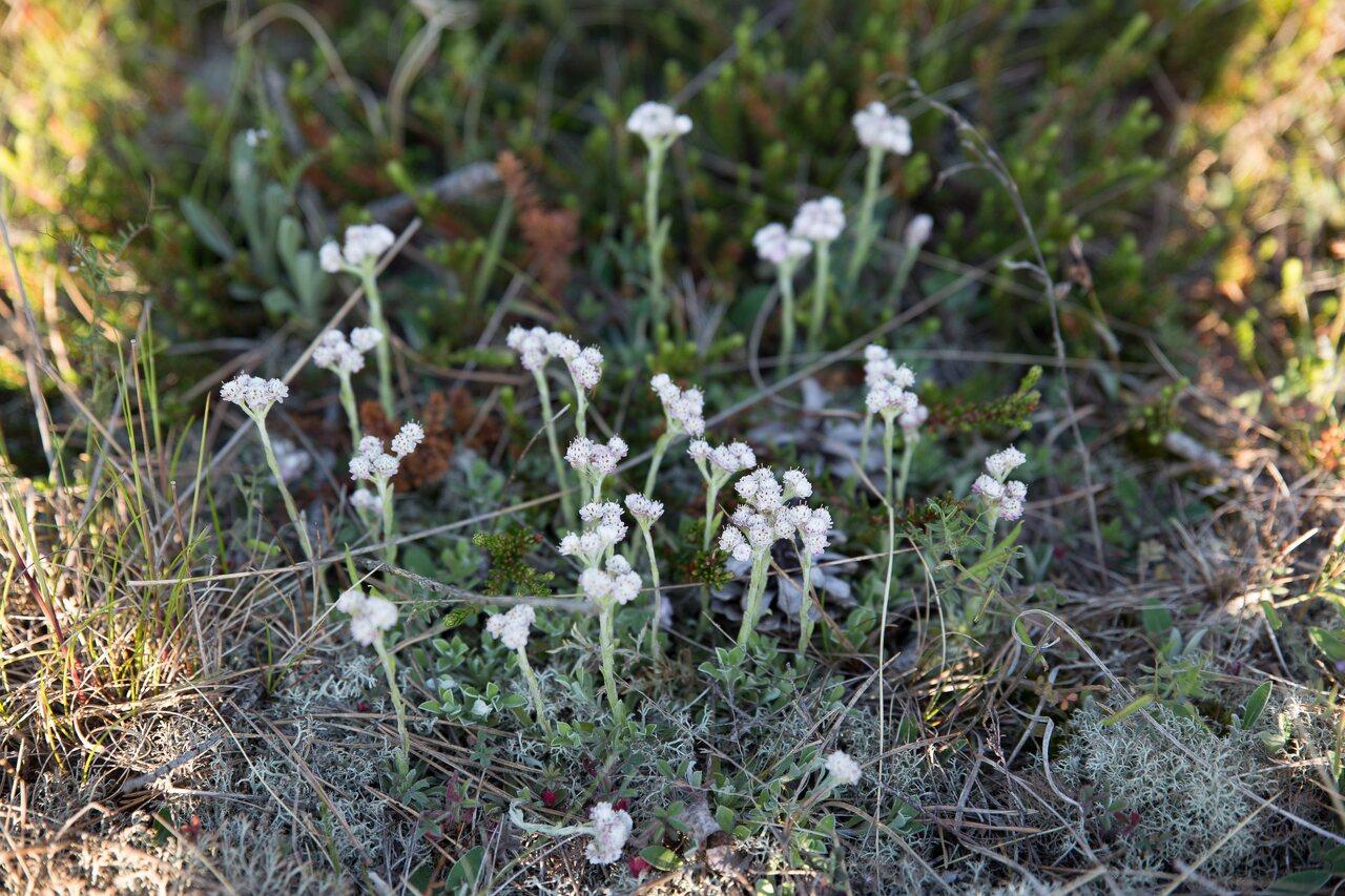 Asteraceae-0582.jpg