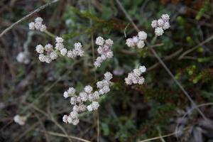 Antennaria dioica · dvinamė katpėdė