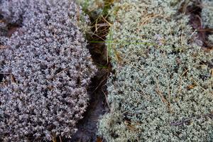 Lichens · kerpės