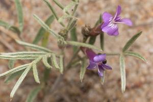 Astragalus arenarius · smiltyninė kulkšnė