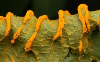 Sphaerophragmiaceae