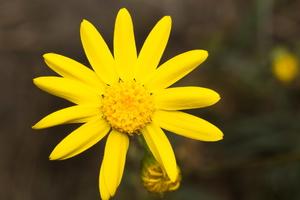 Senecio vernalis · pavasarinė žilė
