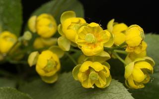 Berberis vulgaris flowers · paprastasis raugerškis, žiedai