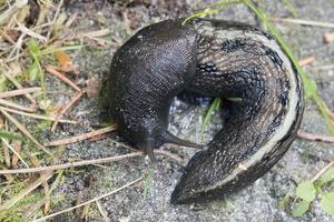 Limacidae · šliužiniai