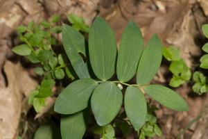 Polygonatum odoratum · vaistinė baltašaknė