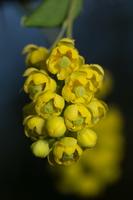 Berberis vulgaris inflorescence · paprastasis raugerškis, žiedynas