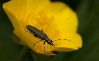 Oedemera virescens male · laibavabalis ♂