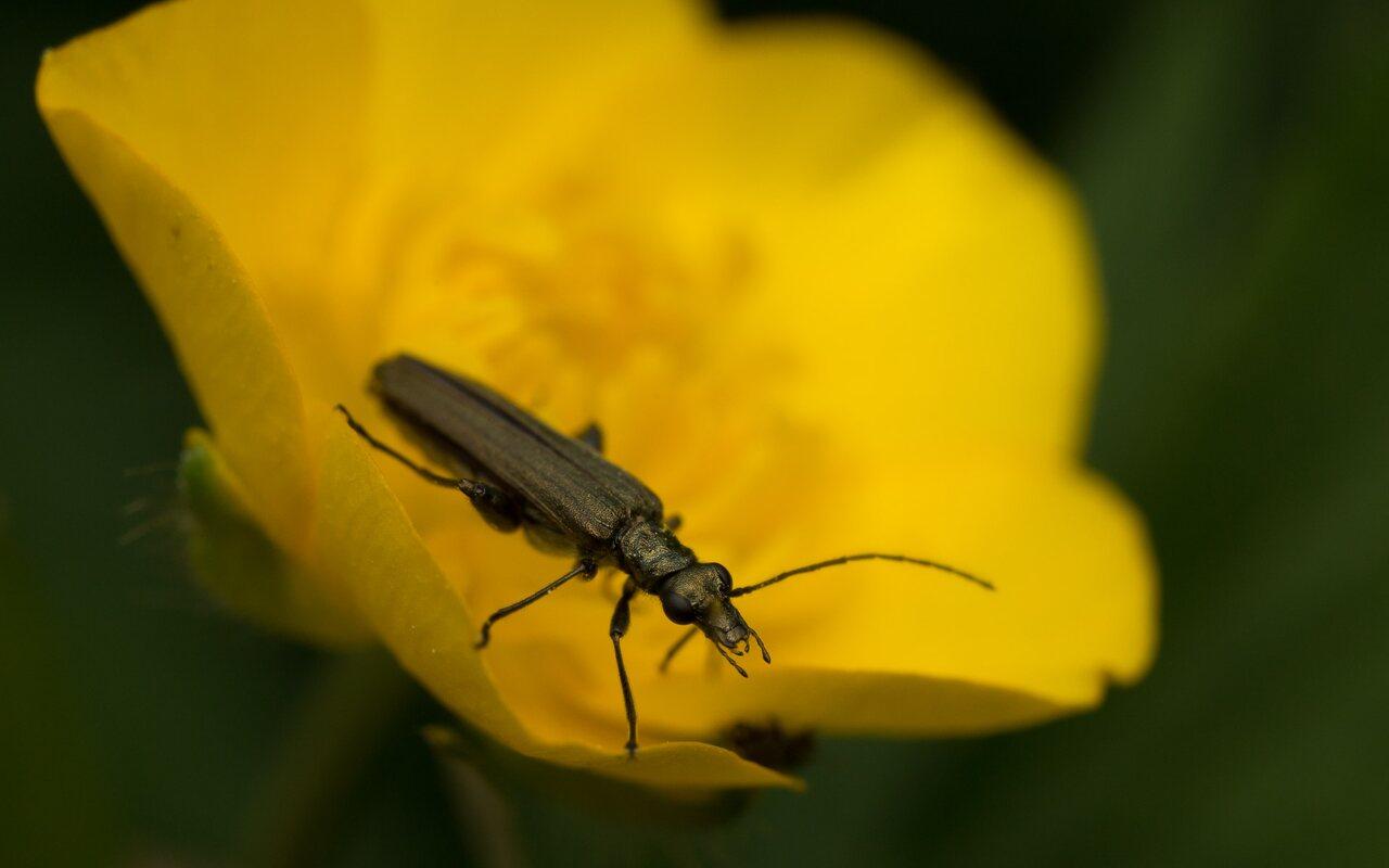 Oedemeridae-0719.jpg