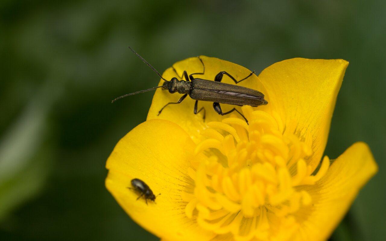 Oedemeridae-0720.jpg