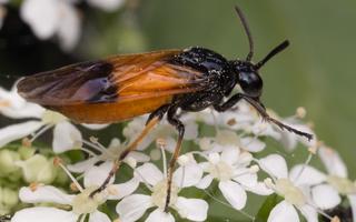 Arge cyanocrocea · pjūklelis