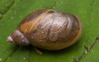 Succinaeidae · gintariniai