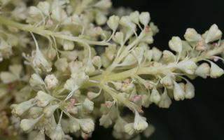 Rheum rhabarbarum flowers · daržovinis rabarbaras, žiedai 0758