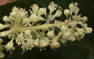 Rheum rhabarbarum flowers · daržovinis rabarbaras, žiedai 0759