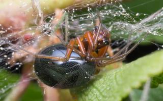 Lasaeola tristis · plaukuotasis skruzdėvoris