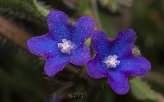 Anchusa officinalis · vaistinis godas