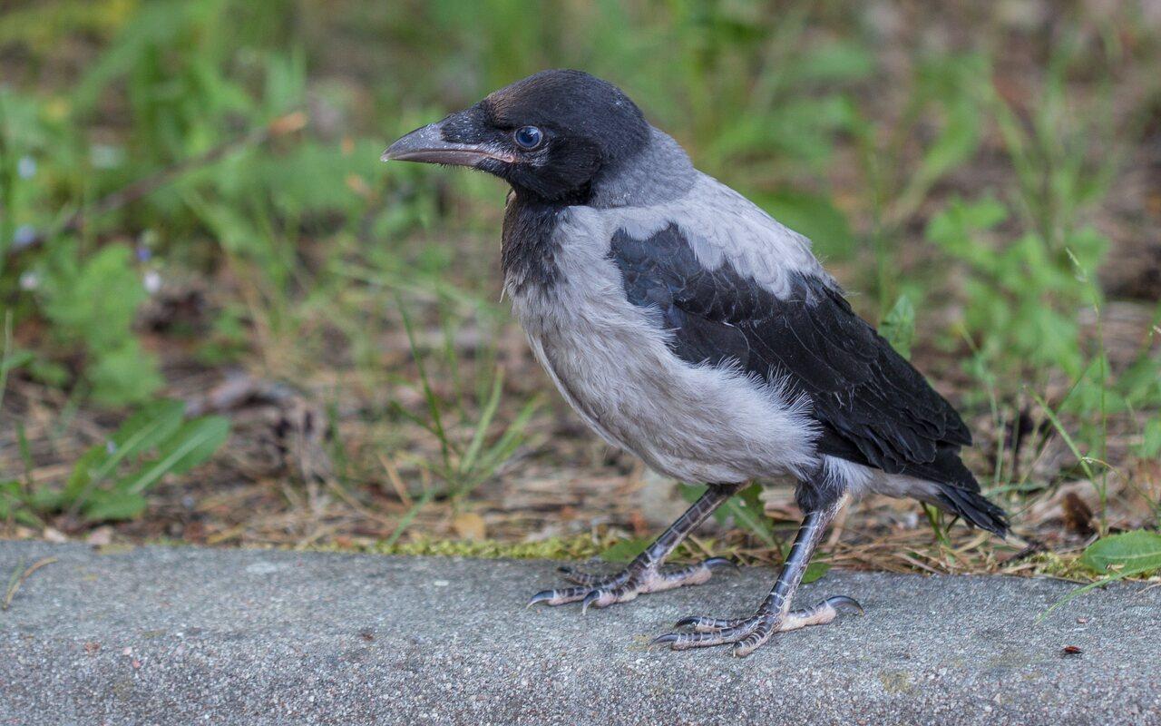 Corvus-cornix-0830.jpg
