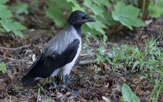 Corvus cornix · pilkoji varna