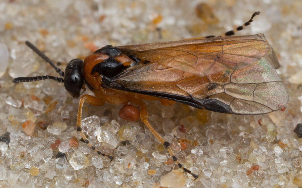 Tenthredinidae-0848.jpg