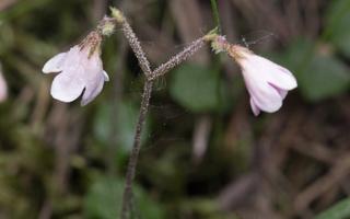 Linnaea borealis · šiaurinė linėja